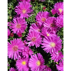 Aster novi-belgii 'Magic Pink' – Kopasz rózsaszín őszirózsa