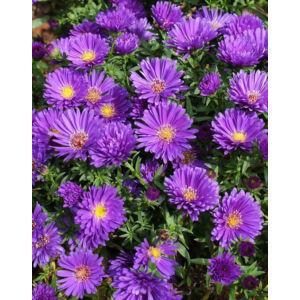 Aster novi-belgii 'Magic Purple' – Kopasz lila őszirózsa