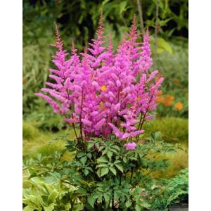 Astilbe 'Amethyst' - Kerti tollbuga (lilás rózsaszín)