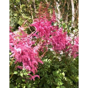 Astilbe chinensis 'Visions in Red' – Kínai tollbuga