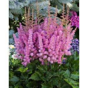 Astilbe 'Little Vision in Pink' - Kerti tollbuga (lilás rózsaszín)