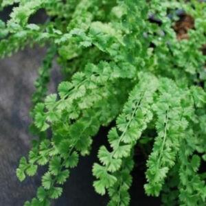 Athyrium filix-femina 'Frizelliae' – Hölgypáfrány