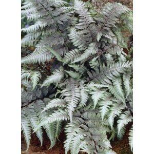 Athyrium niponicum 'Pewter Lace' - Japán hölgypáfrány (ezüstös lomb)