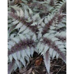 Athyrium niponicum 'Red Beauty' – Japán hölgypáfrány