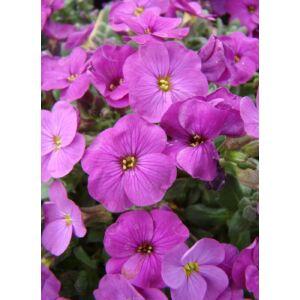 Aubrieta hybrida 'Axcent Lilac' - Kerti pázsitviola (lila)
