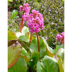 Bergenia cordifolia - Szívlevelű bőrlevél