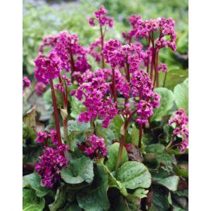Bergenia cordifolia 'Rotblum' – Szívlevelű bőrlevél