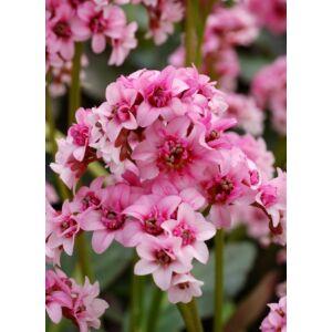 Bergenia 'Dragonfly Sakura' - Bőrlevél (rózsaszín)