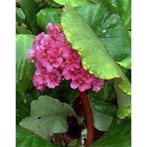 Bergenia 'Morgenröte' - Bőrlevél (sötét rózsaszín)