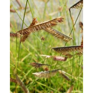 Bouteloua gracilis – Alacsony szúnyogfű