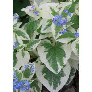 Brunnera macrophylla 'Variegata' - Kaukázusi nefelejcs