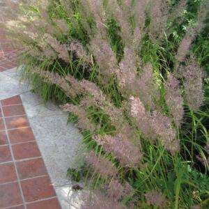 Calamagrostis brachytricha - Nádtippan