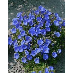 Campanula carpatica 'Carillon Blue' – Kárpáti harangvirág