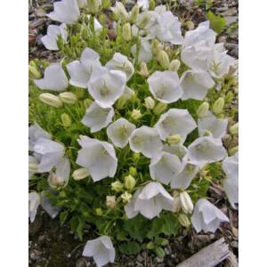 Campanula carpatica 'Carillon White' – Kárpáti harangvirág
