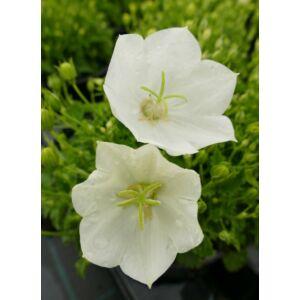 Campanula carpatica 'Perla White' - Kárpáti harangvirág