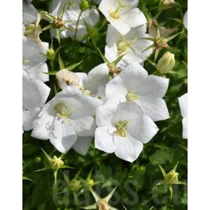 Camapnula carpatica 'Pristar White' – Kárpáti harangvirág (fehér)