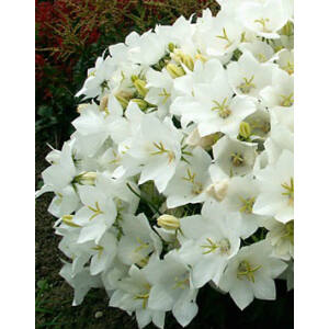 Campanula carpatica 'Weisse Clips' - Kárpáti harangvirág (fehér)