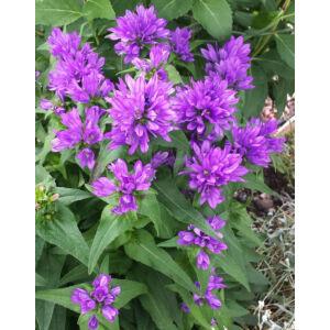 Campanula glomerata 'Bellefleur Blue' – Csomós harangvirág