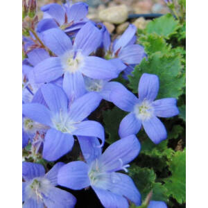Campanula poscharskyana 'Blue Gown' - Balkáni harangvirág