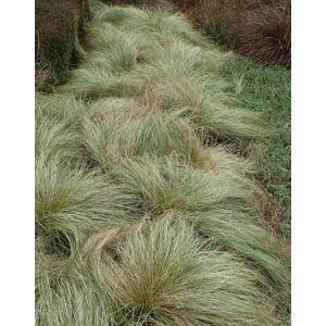 Carex albula 'Frosted Curls' – Sás