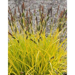 Carex aurea 'Gold Ball' – Sás