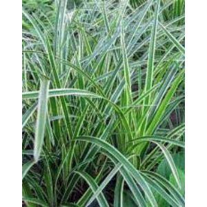 Carex brunnea 'Variegata' – Sás