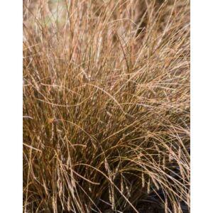 Carex comans 'Bronco' – Csavartlevelű sás