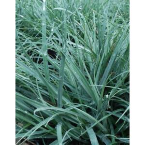 Carex flacca 'Blue Zinger' – Deres sás
