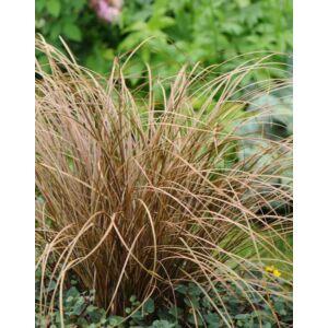 Carex flagellifera 'Auburn' – Ostoros sás