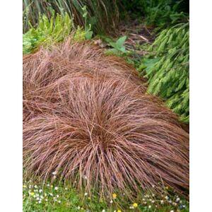 Carex flagellifera 'Bronz Form' – Ostoros sás