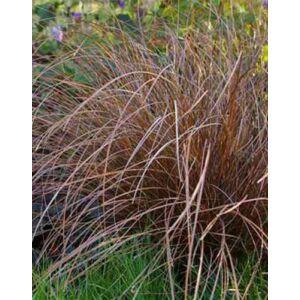 Carex flagellifera 'Bronzita' – Ostoros sás