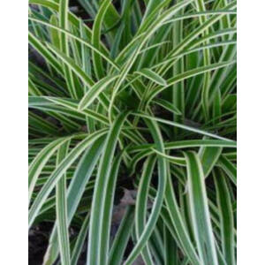 Carex morrowii 'Ice Dance' - Tarka sás