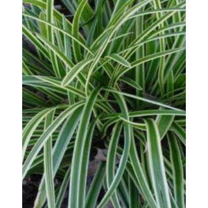 Carex morrowii 'Ice Dance' - Tarka sás (14-es cserépben)