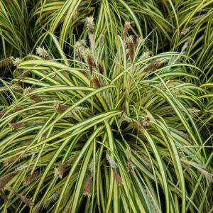 Carex morrowii 'Variegata' - Tarka sás