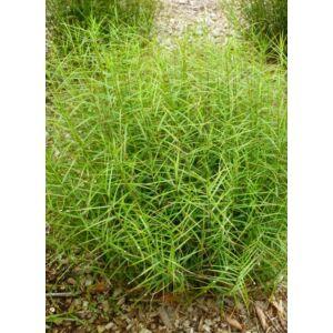 Carex muskingumensis 'Little Midge' - Pálmalevelű sás