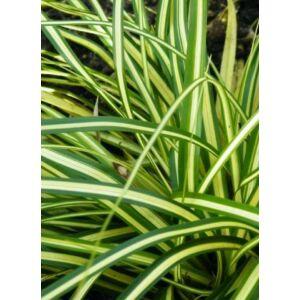 Carex oshimensis 'Evergold' - Sás