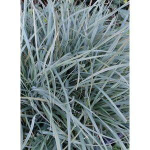 Carex panicea 'Pamira' – Muhar sás