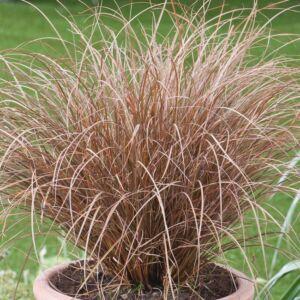 Carex petriei 'Milk Chocolate' – Csavartlevelű sás
