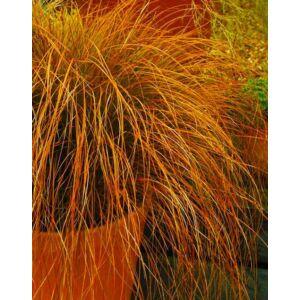 Carex testacea 'Orange Sedge' – Sás