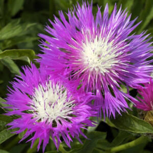 Centaurea dealbata 'Bright Rose' – Szürkés imola