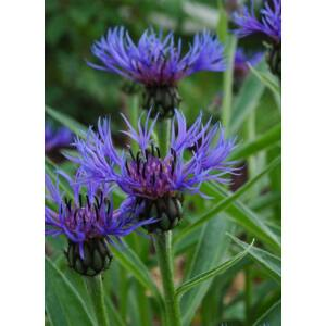 Centaurea montana – Hegyi imola