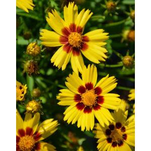 Coreopsis grandiflora 'SunKiss' – Nagyfészkű menyecskeszem