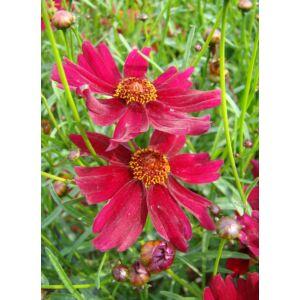 Coreopsis verticillata 'Ruby Red' – Keskenylevelű menyecskeszem
