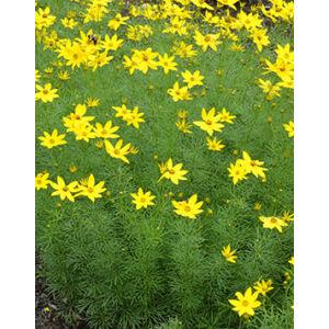 Coreopsis verticillata 'Zagreb' - Keskenylevelű menyecskeszem (sárga)