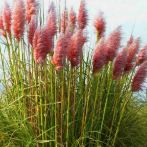 Cortaderia selloana 'Rosea' - Ezüstös pampafű (rózsaszín)