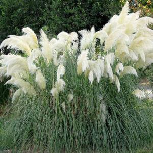 Cortaderia selloana 'White Feather' - Ezüstös pampafű (fehér)