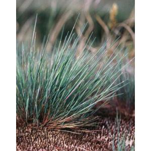 Corynephorus canescens – Ezüstperje