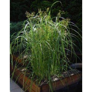 Cyperus longus – Hosszú palka
