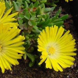 Delosperma congestum 'Yellow' – Délvirág