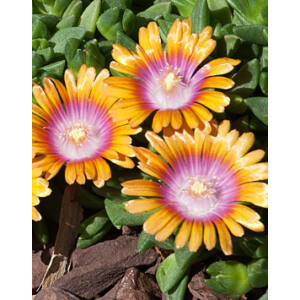 Delosperma 'Fire Spinner' - Délvirág (narancs-rózsaszín-fehér) (9-es cserép)